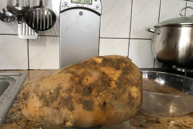 Ziemniak gigant! Rekordzistę 2019 wykopano koło Nowego Sącza [WIDEO]